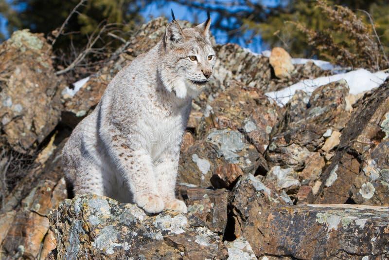 Reusachtige poten op lynx royalty-vrije stock fotografie