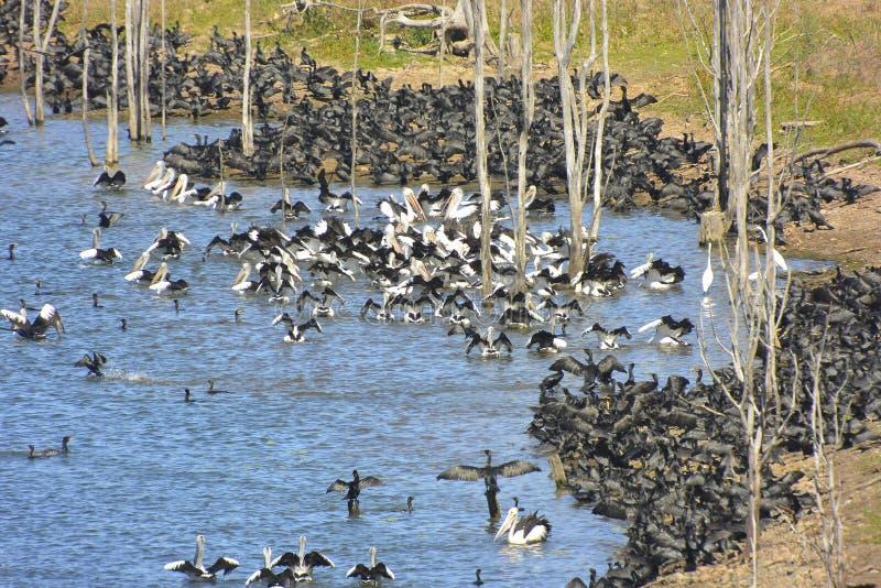 Reusachtige samenvoeging van het bijeenkomen waterbirds stock foto's