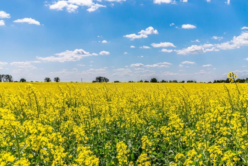 Reusachtige Slowaak, Koolzaadgebied, plantte voor biobrandstof stock fotografie