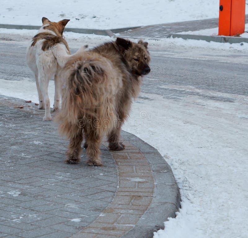 Reusachtige werfhonden, grote verdwaalde honden in de werf, bont bastaarde hond royalty-vrije stock afbeeldingen