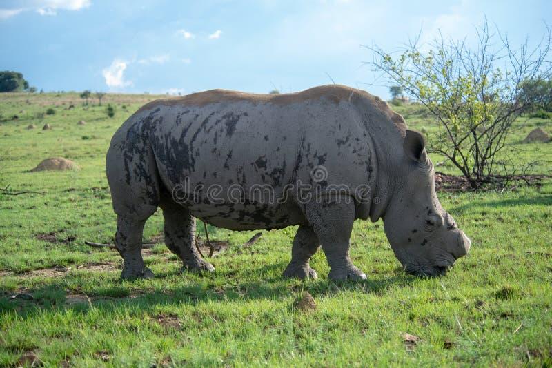 Reusachtige Witte Rinoceros op groen gras stock foto
