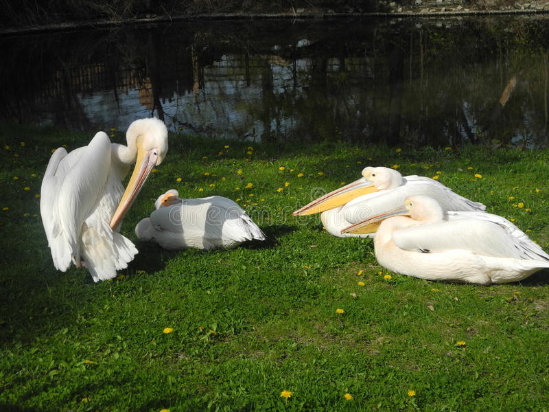 Reusachtige witte vogels van de dierentuin stock afbeeldingen