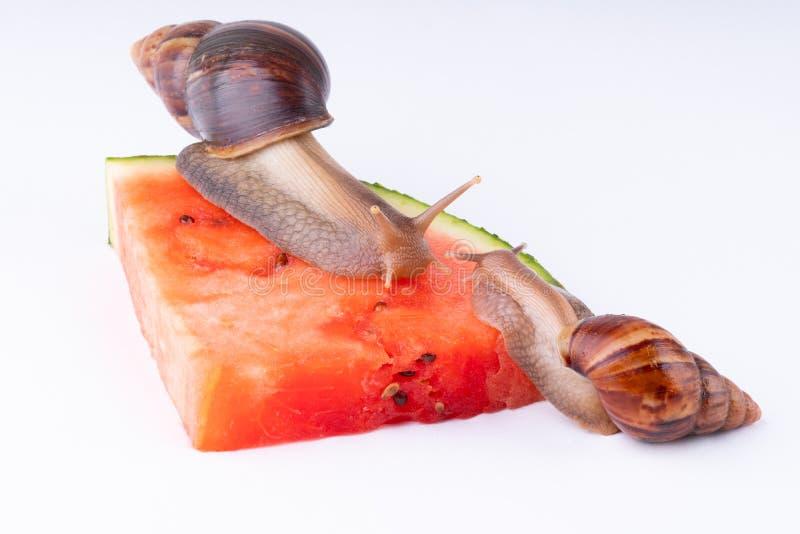 Reuze Afrikaanse landslak die watermeloen, op een witte achtergrond, macro eten stock foto