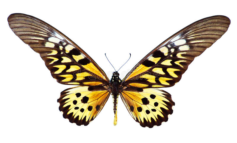 Reuze Afrikaanse Swallowtail stock foto's