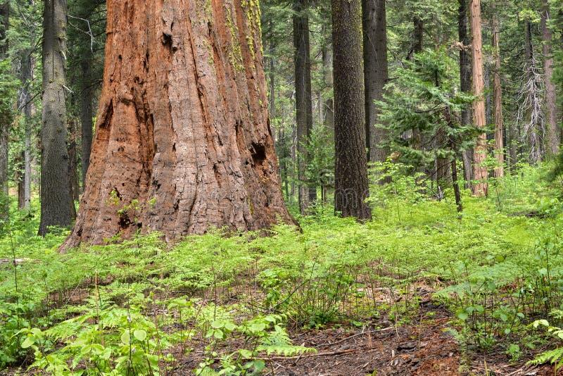 Reuze bomen royalty-vrije stock foto's
