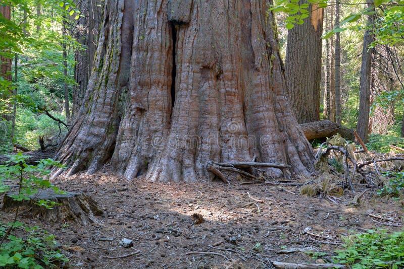 Reuze bomen stock afbeelding