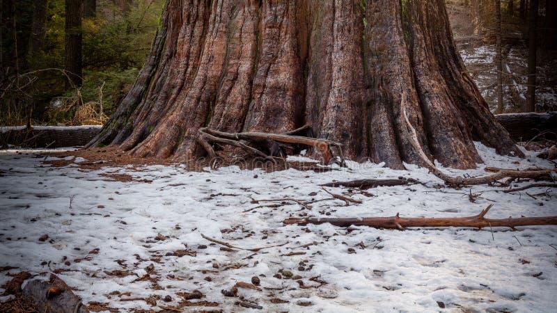 Reuze bomen stock foto