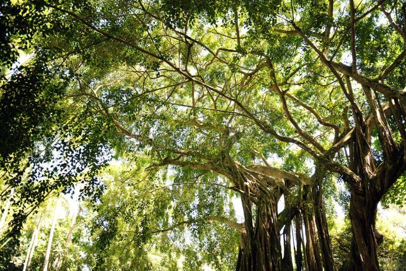 Reuze Bomen Tropisch Regenwoud Voorraadbeelden Download 8