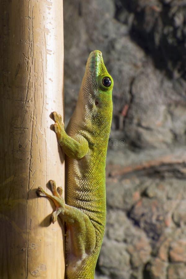Reuze de daggekko van Koch (Phelsuma-madagascariensiskochi) royalty-vrije stock fotografie