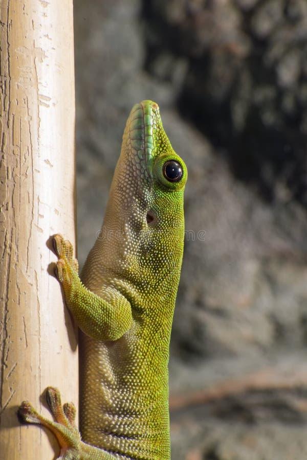 Reuze de daggekko van Koch (Phelsuma-madagascariensiskochi) stock foto