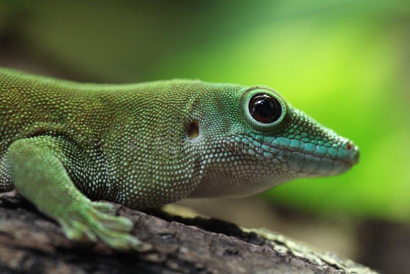 Reuze de daggekko van Koch (Phelsuma-madagascariensiskochi) stock afbeelding