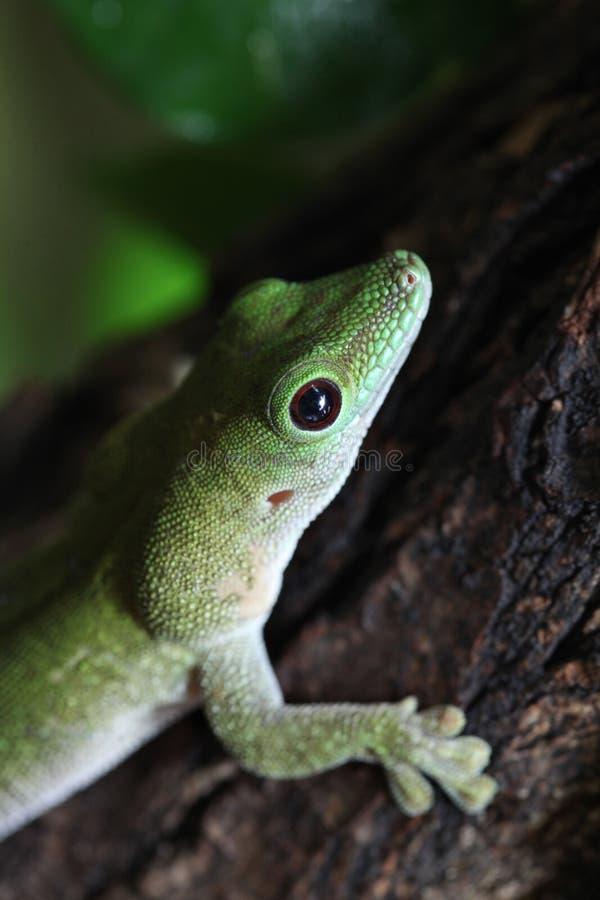 Reuze de daggekko van Koch (Phelsuma-madagascariensiskochi) royalty-vrije stock foto's