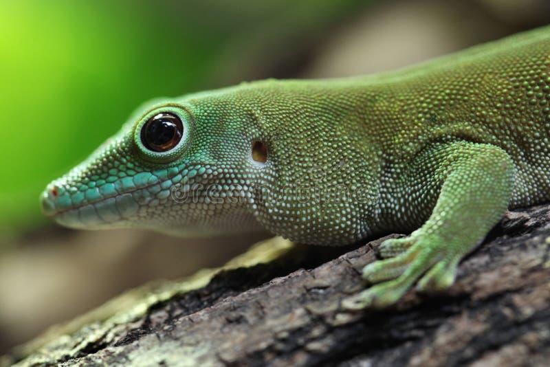 Reuze de daggekko van Koch (Phelsuma-madagascariensiskochi) stock foto's