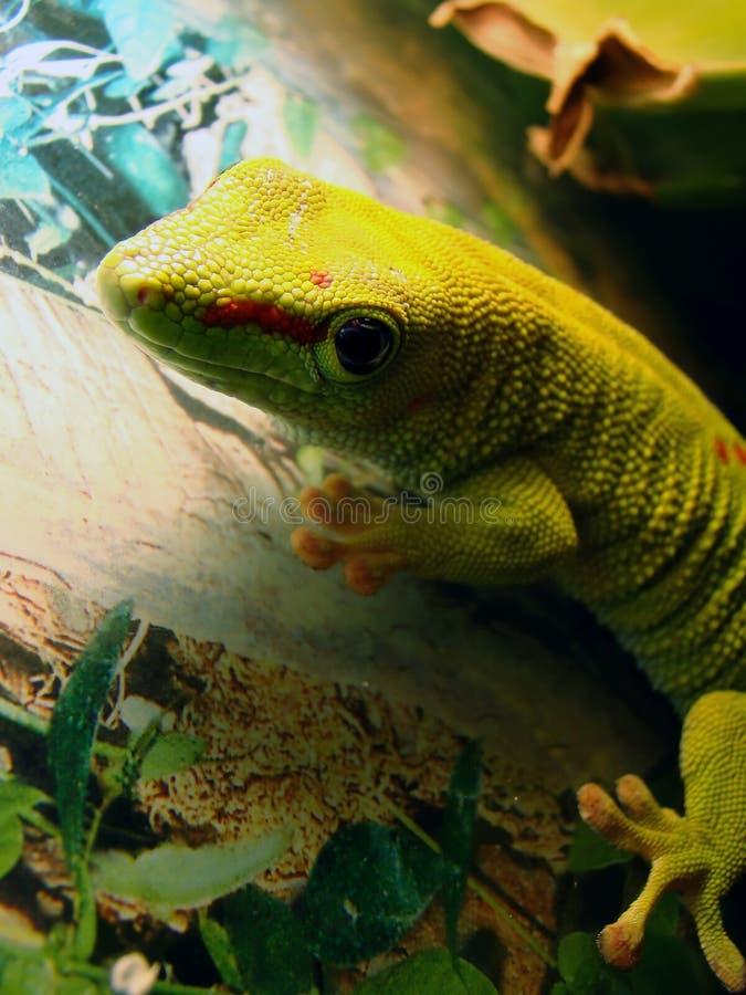 Reuze de daggekko van Madagascar royalty-vrije stock foto's