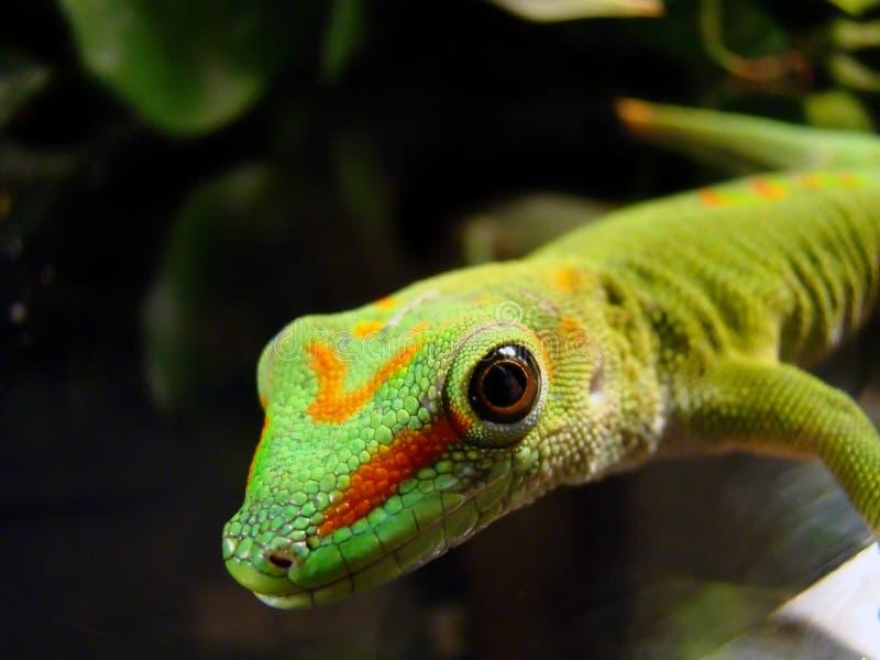 Reuze de daggekko van Madagascar stock foto's