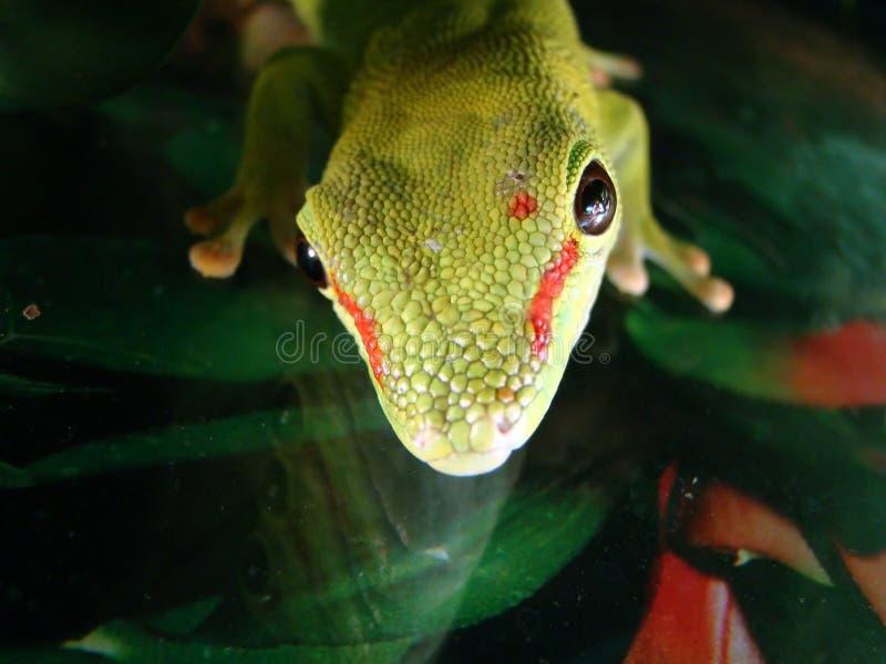 Reuze de daggekko van Madagascar stock foto