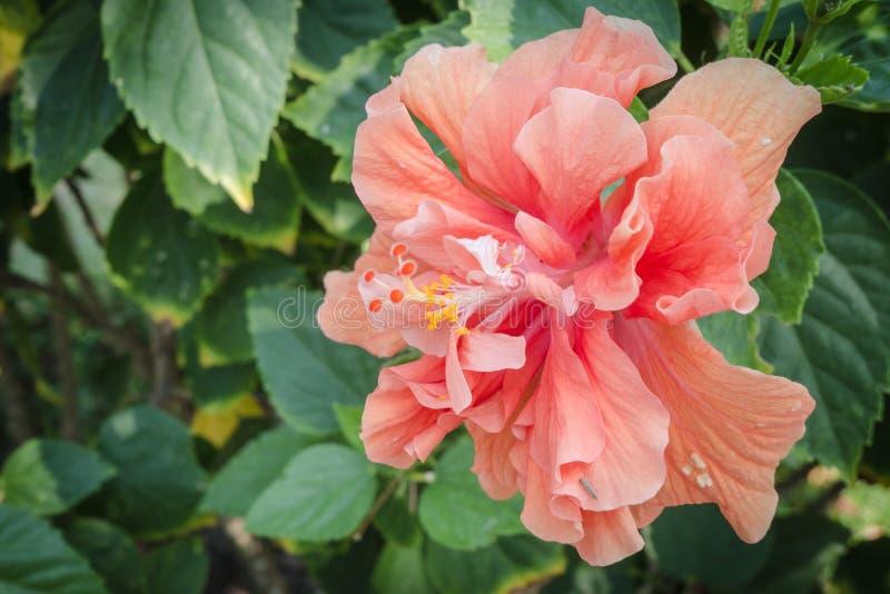 Reuze en mooi: hibiscus oranje bloem, proceskleur stock fotografie