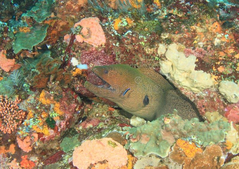 Reuze estuarine moray stock foto's