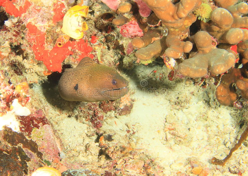 Reuze estuarine moray stock afbeelding