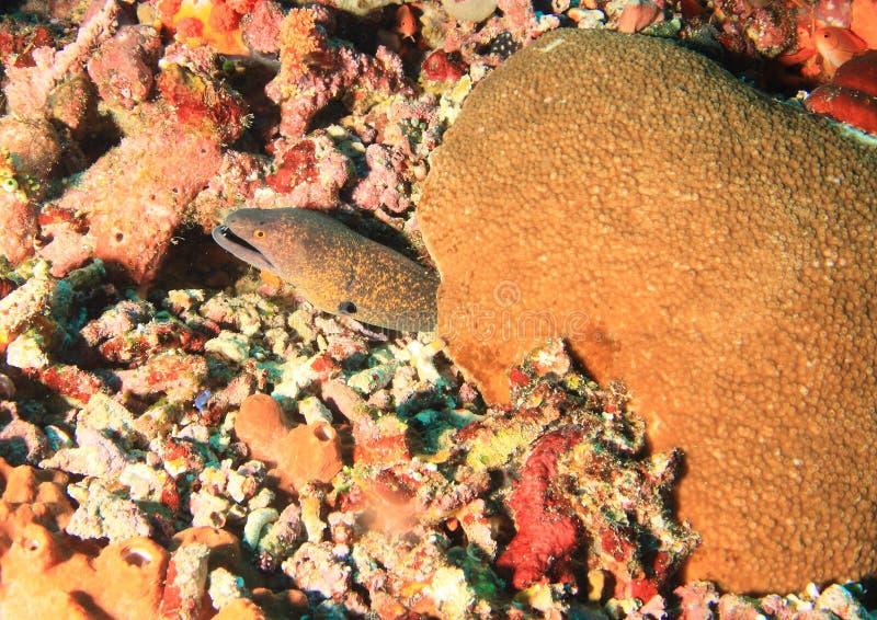Reuze estuarine moray stock fotografie