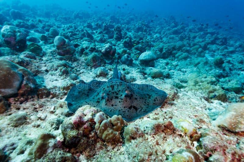 Reuze gele bevlekte pijlstaartrog die op koraalrif rusten stock fotografie