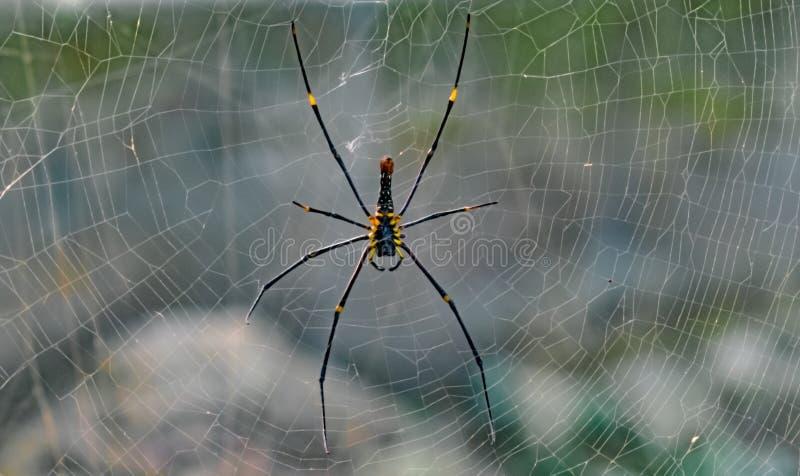 Reuze gouden orb-Web spin/wever Wetenschappelijke maculata of Nephila Pilipes die van Naamnephila in zijn volkomen bewerkt Web ru stock foto