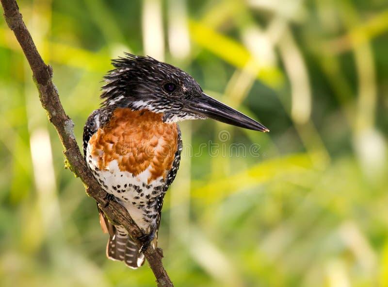 Reuze Ijsvogel stock foto's