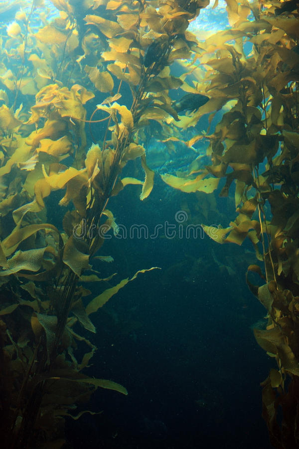 Reuze kelp stock fotografie