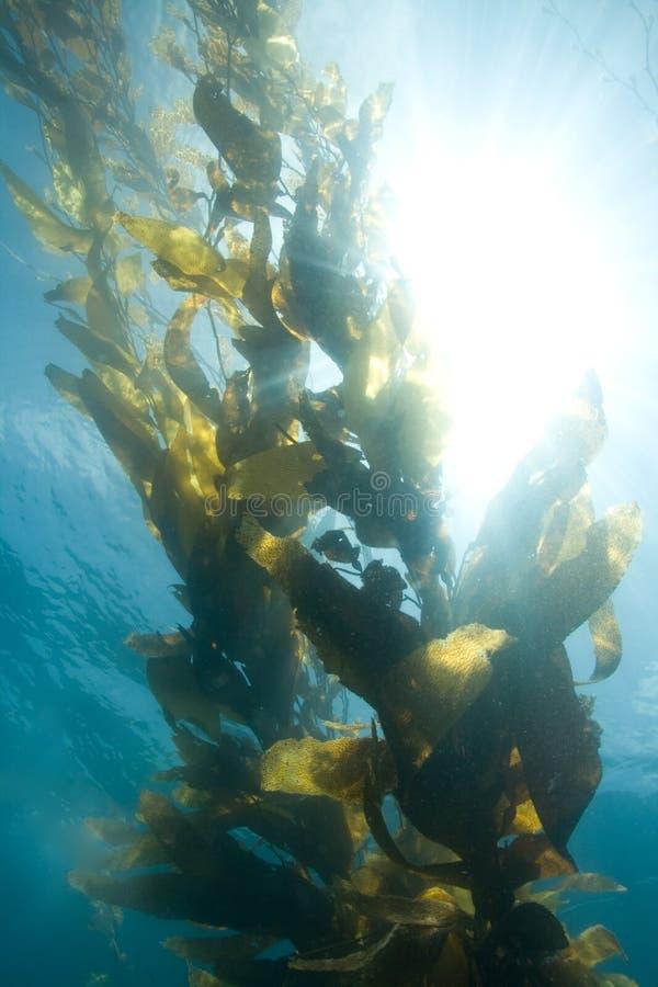 Reuze Kelp royalty-vrije stock foto's