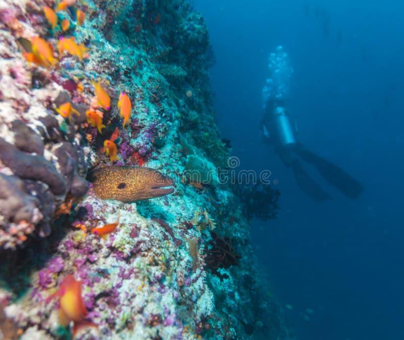 Reuze moray & x28; gymnothorax javanicus& x29; en silhouet van duiker stock afbeelding
