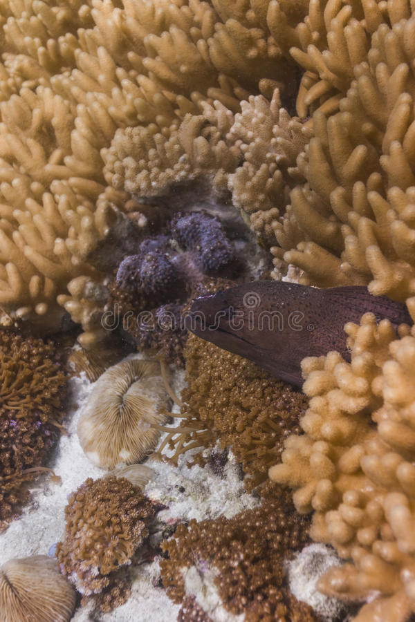 Reuze moray paling bij eiland Lipe royalty-vrije stock fotografie