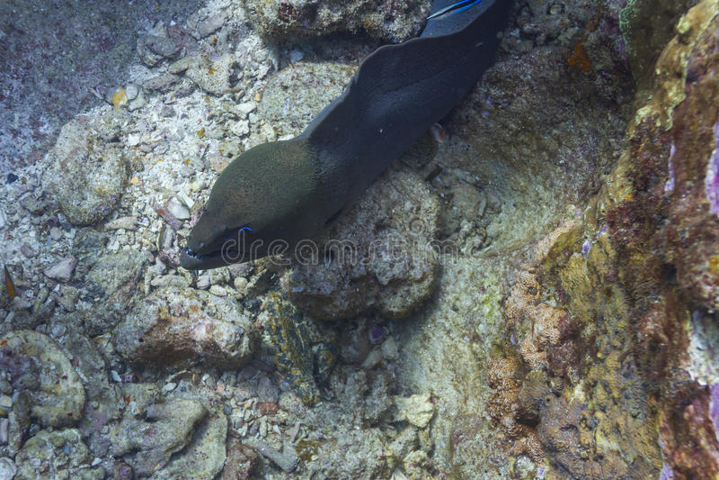 Reuze moray paling bij eiland Surin royalty-vrije stock foto's