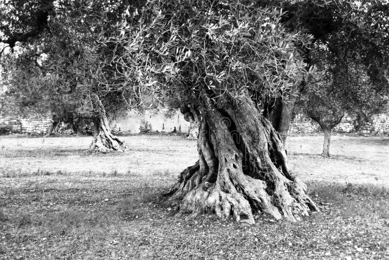 Reuze olijfboom royalty-vrije stock fotografie