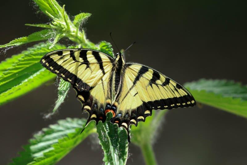 Reuze Oostelijke Swallowtail-vlinder stock foto