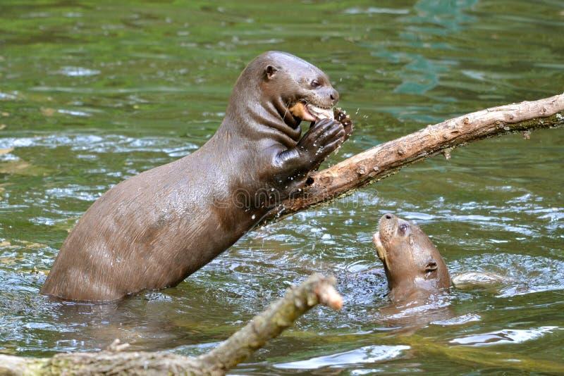 Reuze otter die een vis eet stock afbeeldingen