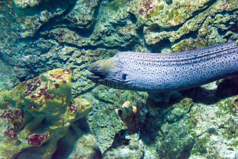 Reuze Paling Moray (javanicus Gymnothorax) stock afbeelding