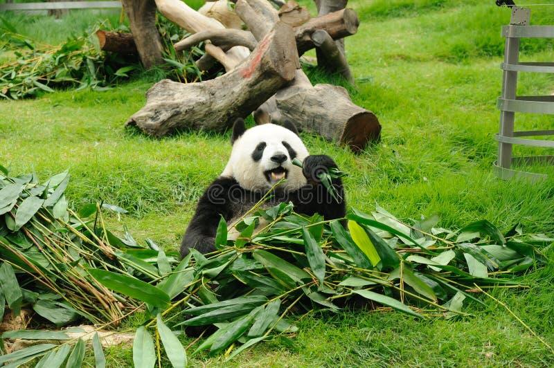 Reuze panda stock afbeelding