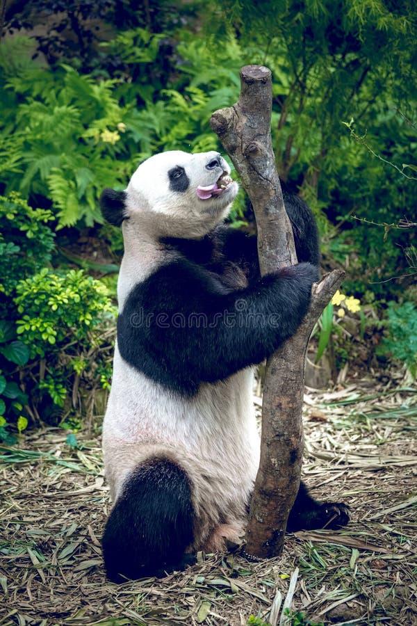 Download Reuze Panda stock afbeelding. Afbeelding bestaande uit china - 54087677