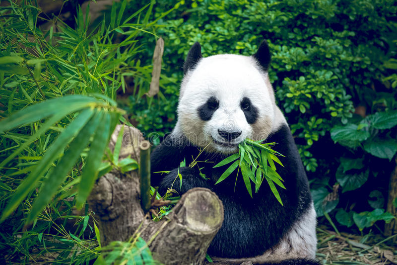 Download Reuze Panda stock foto. Afbeelding bestaande uit speciaal - 54087688