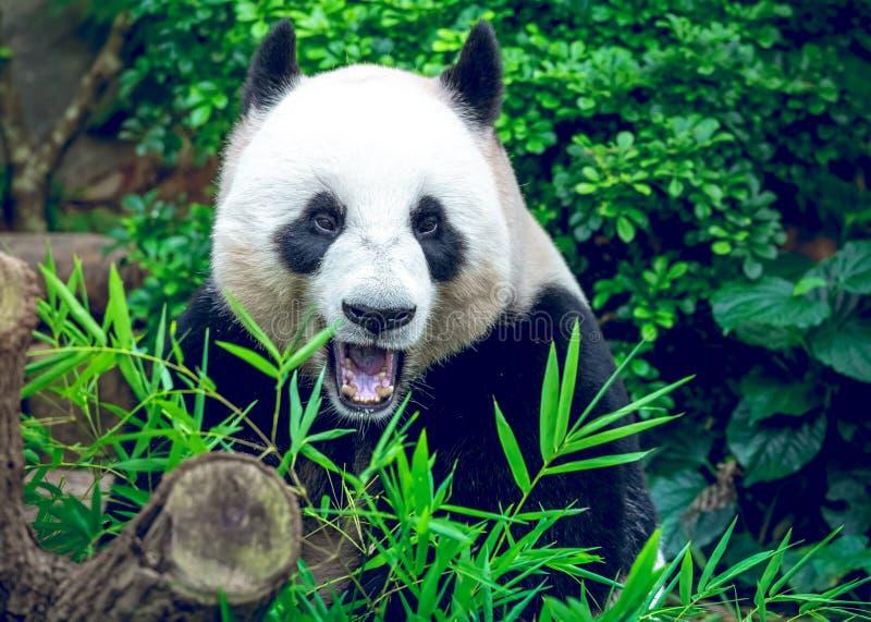 Download Reuze Panda stock foto. Afbeelding bestaande uit zwart - 54088012