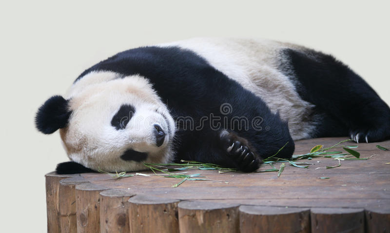 Reuze Panda die dicht omhoog ligt stock foto's