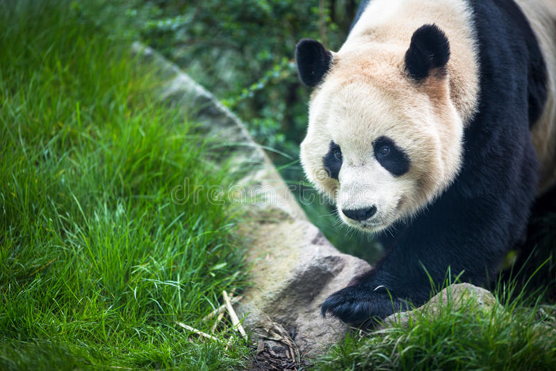 Reuze Panda (melanoleuca Ailuropoda) stock foto's