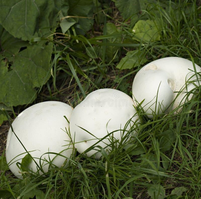 Reuze puffballpaddestoelen stock afbeelding