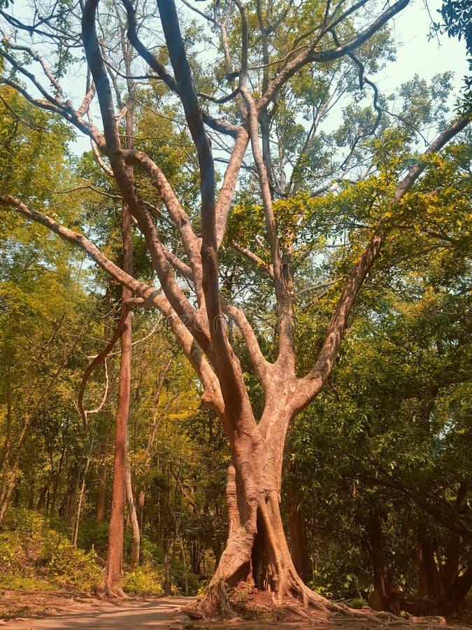 Reuze Reusachtige Oude Boom in een Tropisch Bos royalty-vrije stock foto's