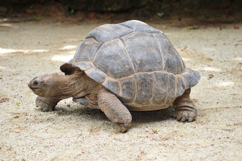 Reuze Schildpad stock foto