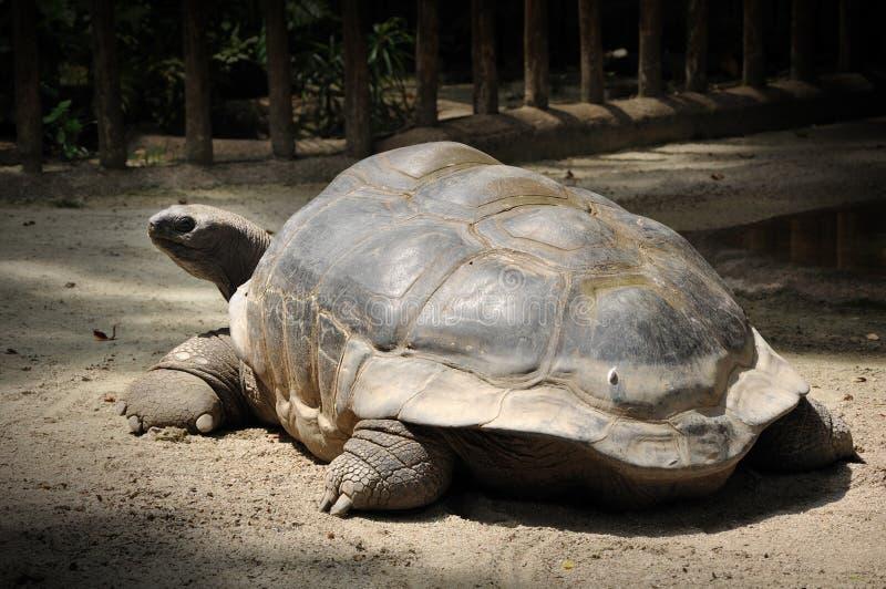 Reuze schildpad in de dierentuin van Singapore stock foto's