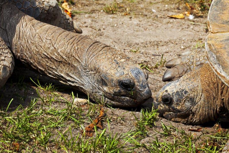 Reuze schildpadden stock foto's