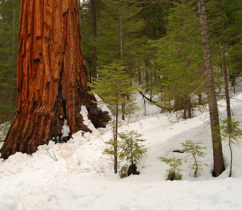 Reuze Sequoia 101 stock fotografie