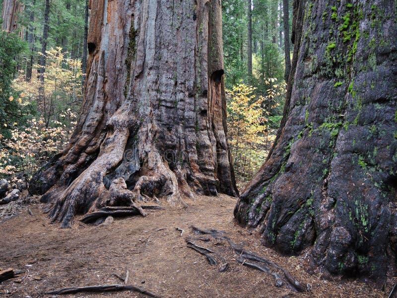 Reuze Sequoia's royalty-vrije stock afbeeldingen