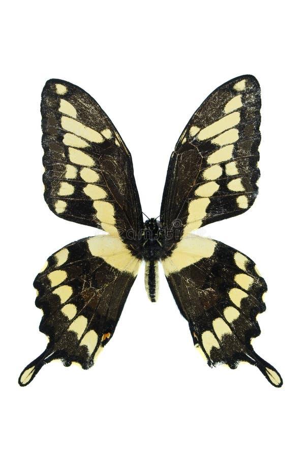 Reuze Swallowtail royalty-vrije stock afbeelding